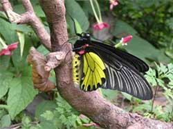 Himalayan Butterfly is India's Largest